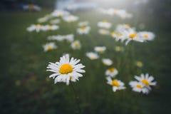 La macro de la margarita blanca hermosa florece en jardín Focu selectivo fotografía de archivo