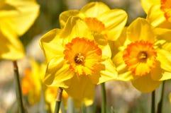 La macro de narcisos amarillos se cierra para arriba Imágenes de archivo libres de regalías
