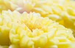 La macro di bello yello fiorisce per il fuoco selettivo del fondo del giorno di stagione di amore o del ` s del biglietto di S. V Fotografia Stock Libera da Diritti