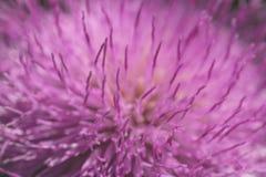 La macro ed il dettaglio hanno sparato del fiore porpora con i petali lunghi in natura Fine in su Colore del croco della molla di Fotografia Stock