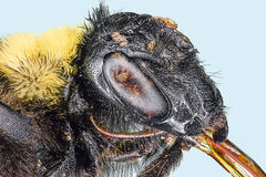 La macro extrema manosea la abeja Fotos de archivo