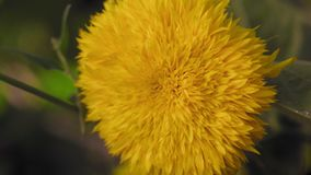 La macro, flor amarilla hermosa crece en el jardín metrajes