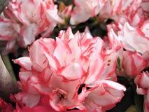 La macro foto con fondo decorativo di bianco delicato con il bordo rosa dei petali del fiore sull'arbusto del rododendro si ramif Fotografia Stock