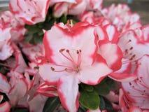 La macro foto con fondo decorativo di bianco delicato con il bordo rosa dei petali del fiore sull'arbusto del rododendro si ramif Fotografia Stock Libera da Diritti
