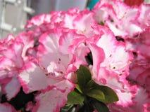 La macro foto con fondo decorativo di bianco delicato con il bordo rosa dei petali del fiore sull'arbusto del rododendro si ramif Fotografie Stock Libere da Diritti