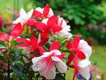 La macro foto con fondo decorativo struttura i bei fiori rosa e bianchi delicati d'attaccatura della fucsia dei petali Fotografia Stock