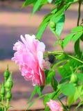 La macro foto con i precedenti del giardino decorativo fiorisce le rose Fotografia Stock Libera da Diritti