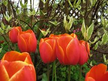 La macro foto con una struttura decorativa del fondo di bella primavera rossa fiorisce i tulipani Fotografia Stock Libera da Diritti