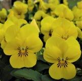 La macro foto con una struttura decorativa del fondo fiorisce con i petali gialli delle viole Fotografie Stock Libere da Diritti