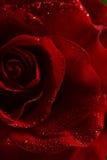 La macro image de rouge foncé a monté avec des gouttelettes d'eau Photo libre de droits