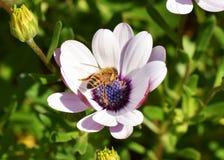 La macro manosea la abeja que poliniza una margarita africana Imagen de archivo libre de regalías