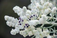 La macro nativa occidental del wildflower de Australia pare las lanas Fotografía de archivo