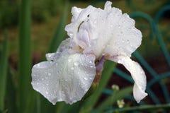 La macro nature de photo fleurit les iris violets lilas Les iris lilas violets de floraison de fleurs de fond se développent dans images stock