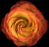 La macro orange s'est levée en fleur Images libres de droits