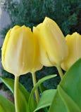 La macro photo avec de belles tulipes d'usine herbacée de fleurs de texture décorative de fond en eau de pluie se laisse tomber Image libre de droits