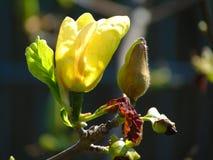 La macro photo avec le fond décoratif de la belle magnolia jaune fleurit Image libre de droits