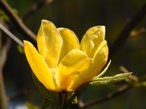 La macro photo avec le fond décoratif de la belle magnolia jaune fleurit Photo libre de droits
