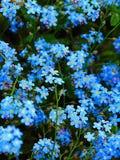 La macro photo avec un fond décoratif d'un beau jardin bleu fleurit le Myosotis de la famille Bernikovich Photographie stock libre de droits