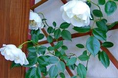 La macro photo avec un fond décoratif de jardin fleurit les roses bouclées Photos stock