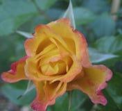 La macro photo avec une texture décorative de fond d'une belle fleur Bush a assorti les roses jaunes de pétales Images stock
