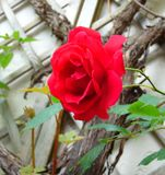 La macro photo avec une texture décorative de fond d'une belle fleur Bush a assorti les roses rouges Photographie stock libre de droits