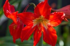 La macro photo du rouge fleurit Amaryllis Jardin dans Ténérife photo stock