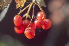 La macro photo du viburnum, baies rouges en automne, guelder s'est levée image stock