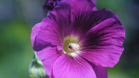 La macro, poca mosca recoge el néctar de una flor hermosa almacen de video