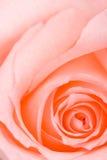 La macro rosada del primer se levantó Imagen de archivo libre de regalías