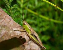 La macro sauterelle d'insecte se repose sur une feuille Images stock