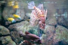 La macro scena di natura morta di punto di vista del lionfish di pterois volitans del pesce esotico acquatico rosso dell'acquario fotografia stock