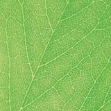 La macro verde de la hoja texturizó el detalle abstracto detallado grande del modelo de la textura del fondo del primer Imagenes de archivo