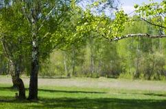 La madera de abedul en mayo Fotos de archivo