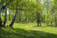 La madera de abedul en mayo Fotografía de archivo libre de regalías