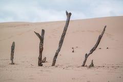 La madera de deriva se pega hacia fuera en las dunas de arena imagenes de archivo