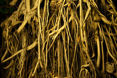 La madera de la raíz Foto de archivo libre de regalías