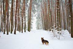 La madera de pino cowered con nieve Imagen de archivo libre de regalías