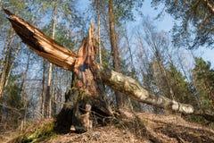 La madera murió Fotos de archivo libres de regalías