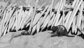 La madera tallada beavers /balck y blanco Fotografía de archivo