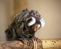 La madre común del mono del mono tití con los bebés en su parte posterior Imagenes de archivo