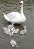La madre del cisne mudo que mira de cerca en su pollo del cisne 6 mientras que intentan alimentar en el pan forma escamas Fotografía de archivo libre de regalías