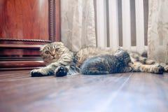 La madre del gato de Grey Scottish Fold le alimenta gatitos fotografía de archivo
