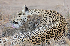 La madre del leopardo cuida para su cachorro en la acopio de oscuridad Imágenes de archivo libres de regalías