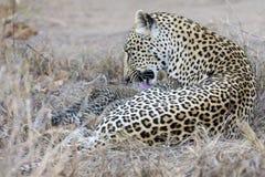 La madre del leopardo cuida para su cachorro en la acopio de oscuridad Fotos de archivo