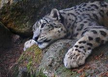 La madre del leopardo delle nevi prende un resto Fotografia Stock Libera da Diritti