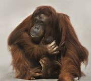 La madre del orangután acuna recién nacido Fotos de archivo libres de regalías