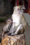 La madre della scimmia alimenta il suo bambino immagine stock