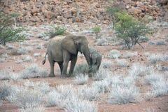 La madre ed il bambino del deserto hanno adattato gli elefanti, Namibia Fotografie Stock Libere da Diritti