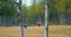 La madre femenina de los alces con dos calfs jovenes de los alces camina en bosque almacen de video