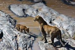 La madre y el cachorro del leopardo les gusta cruzar el río en Masai Mara, Kenia Fotografía de archivo